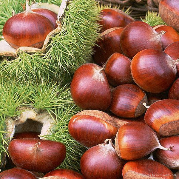 فوائد الكستنا (بوفروة) Chestnut