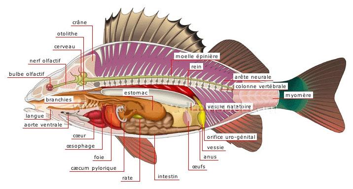 poisson fou ou malade ?  6