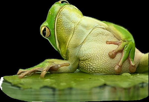 Les grenouilles 781cb7f4