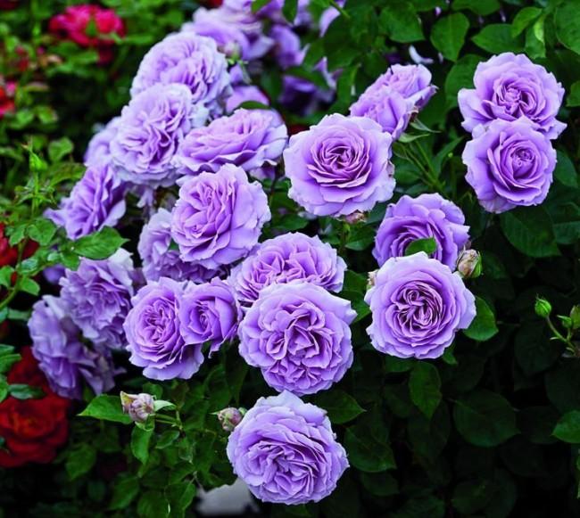 Свой сад возле дома Rose_floribunda_80-650x581