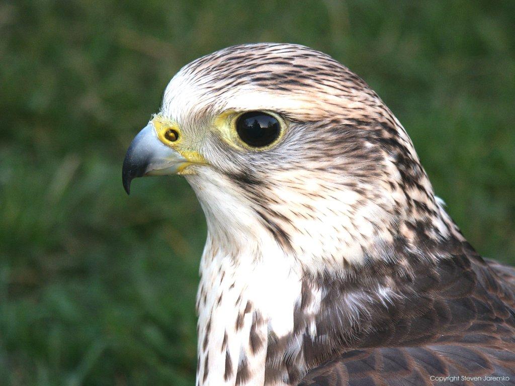 Falconiformes. sub Falconidae - sub fam Falconinae - gênero Falco Saker_head_3