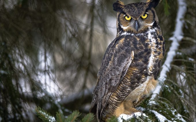 Магия совы Owl-images-680x425