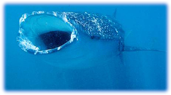 2020 - [Audi] Q5 Sportback - Page 5 Un-requin-baleine-en-train-de-s-alimenter-avec-sa-grande-bouche-de-salamandre