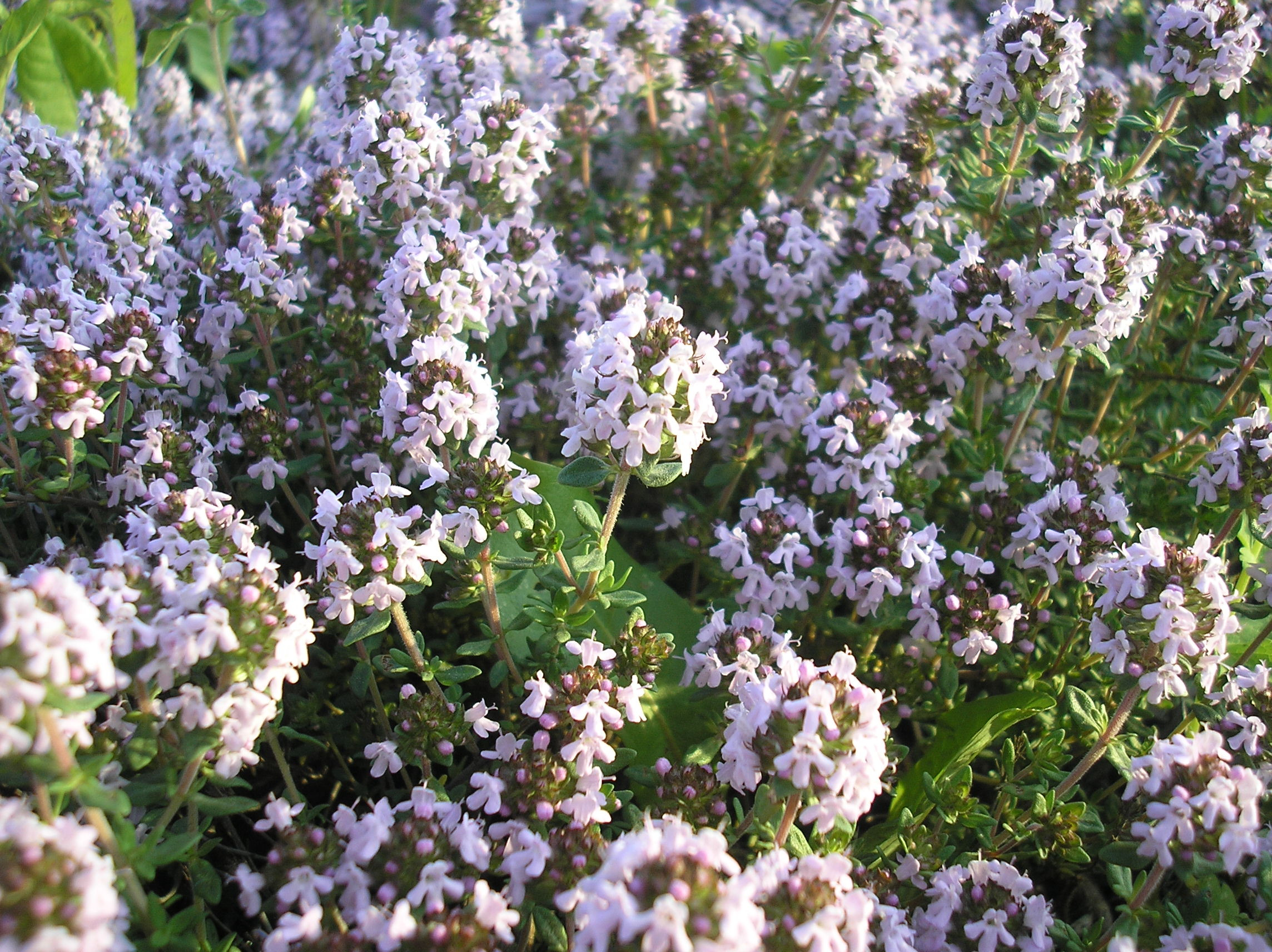 Fleurs,....fruit,.....tout ce qui se mange,...se boit....ou qui vient de la nature.......... - Page 37 Aedliivatee