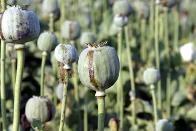 KALENDAR - Dogodilo se na današnji dan Poppy_plant