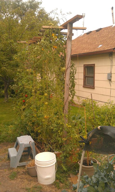Pruning indeterminate tomatoes Sept-25-12-3