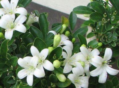 un arbuste - ajonc - 25 décembre trouvé par Pitchoune Pot_flower_bark_tree_orange_jessamine_170_651