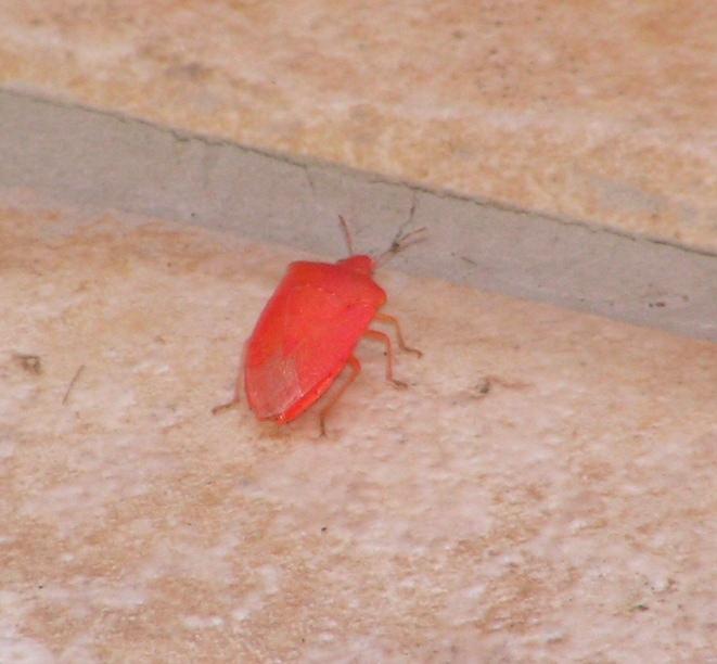 Punaise rouge... Punaise_rouge