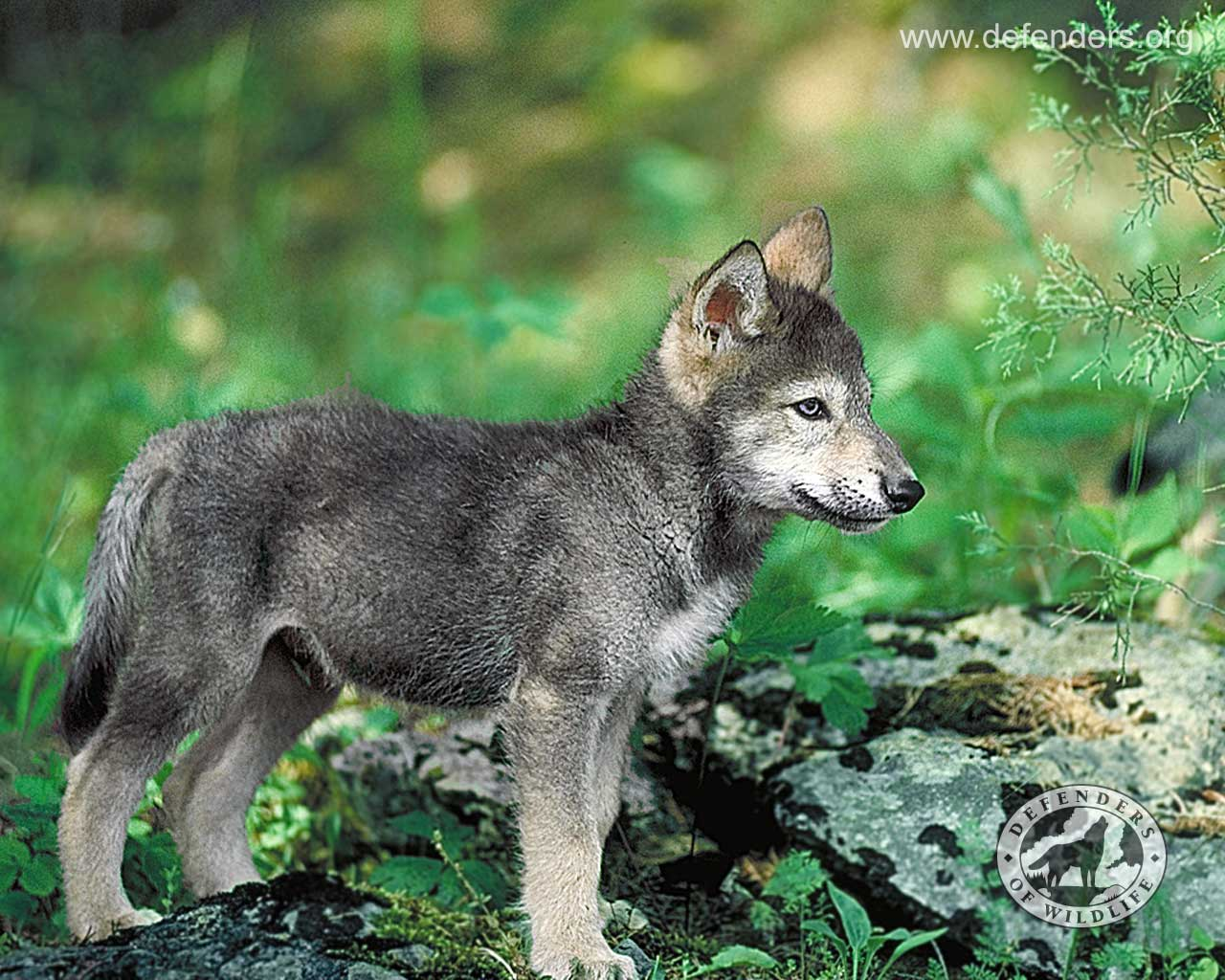 Wolves of the Skryer Forest Wolf-pup-defenders