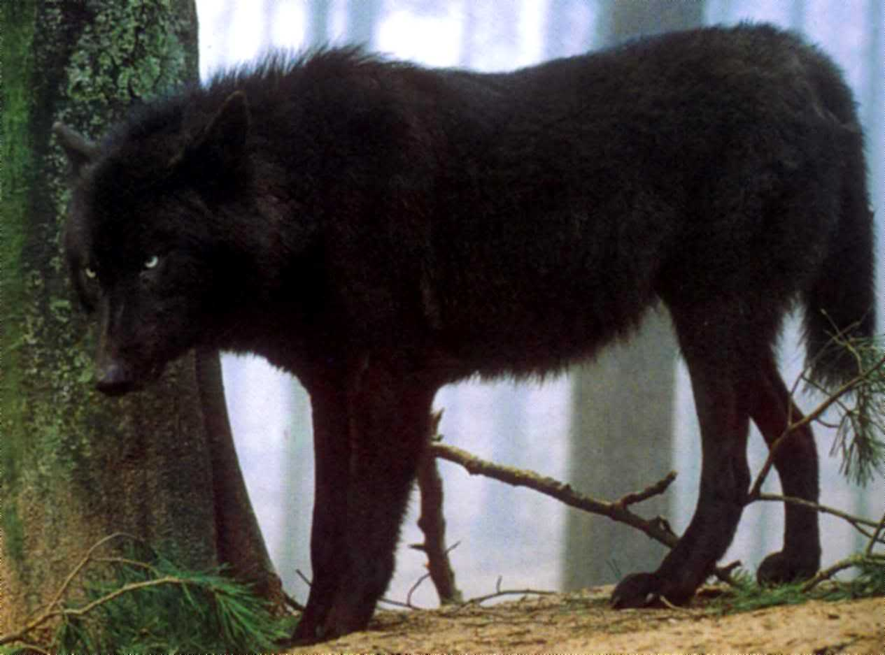 wolves - The Wolves of The Pack of Never Ending Winter - Please Adopt - Black-wolf-6