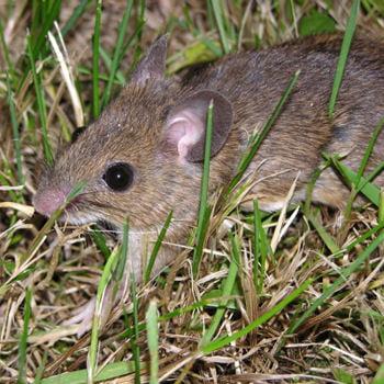le rat, le rossignol et la limace 412313-le-campagnol