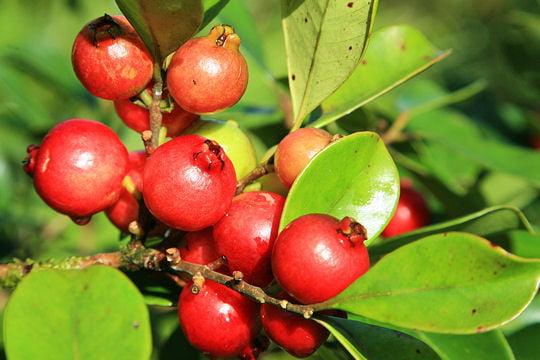 Plantation d'arbre fruitier  1073143-les-goyaviers-populaires-pour-leurs-fruits