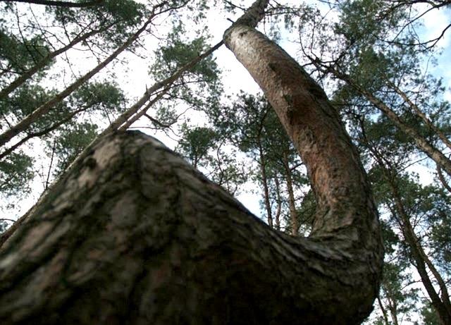 Самые необычные, удевительные явления природы - Страница 2 Crooked-forest-014