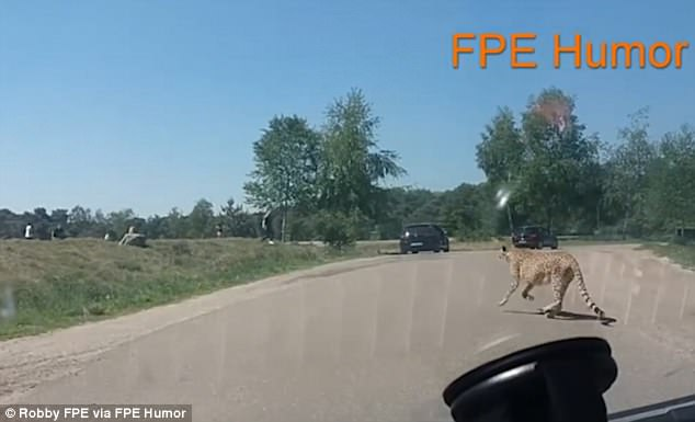 www.dailymail.co.uk Family-chased-by cheetahs after getting out of car in safari park 4C15358C00000578-5717019-image-m-15_1526022648268