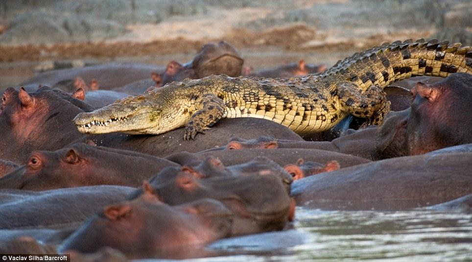 >>>>>>>>>تمساح غبي<<<<<<<<<< Article-1228242-073BC6CA000005DC-405_964x535