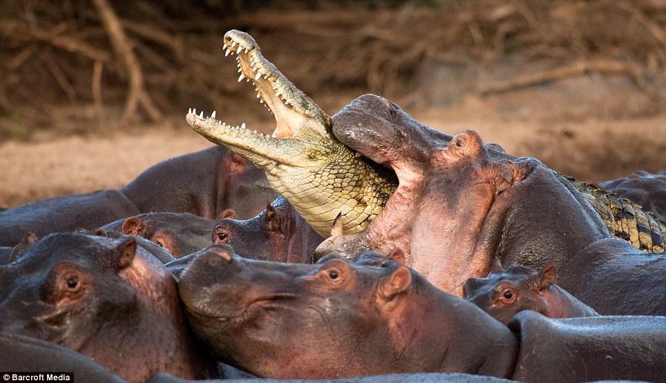 >>>>>>>>>تمساح غبي<<<<<<<<<< Article-1228242-073BC77B000005DC-835_964x555