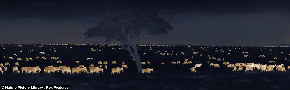 African savannah at night (Martin Dohrn) Article-1328484-0BFB2F22000005DC-896_964x300