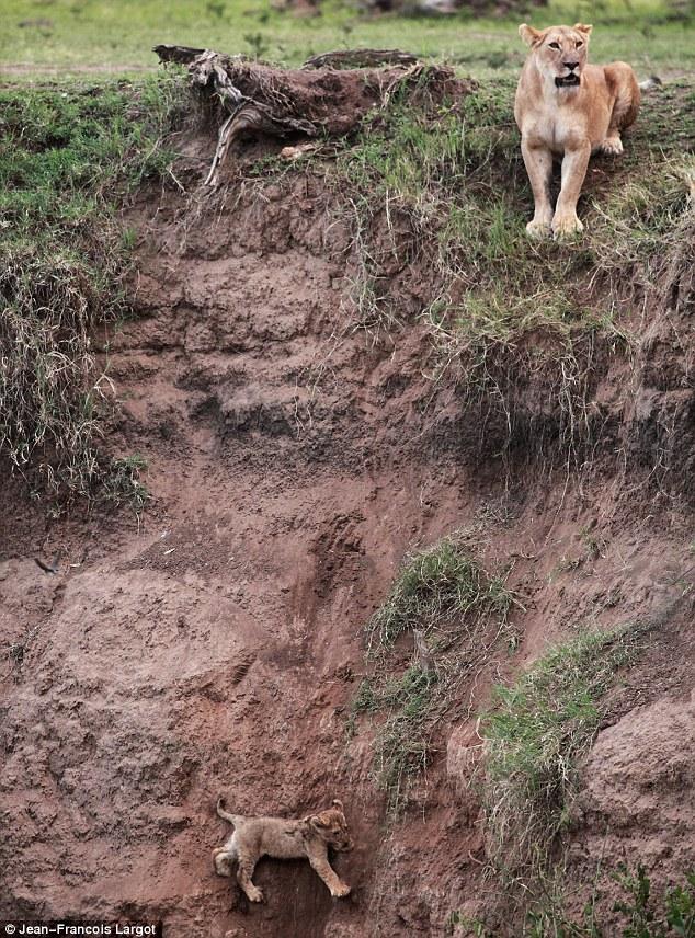 Lion cub saved by Mom  Article-2041813-0E0341AA00000578-26_634x856