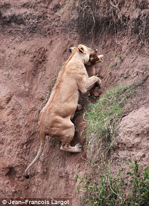 Lion cub saved by Mom  Article-2041813-0E0342F700000578-84_306x423