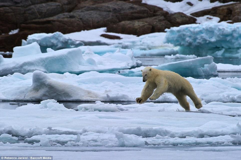 صور // الدب القطبي لحظة قفز بين اثنين من ذوبان القمم الجليدية القطبية Article-2046319-0E4164FF00000578-654_964x642