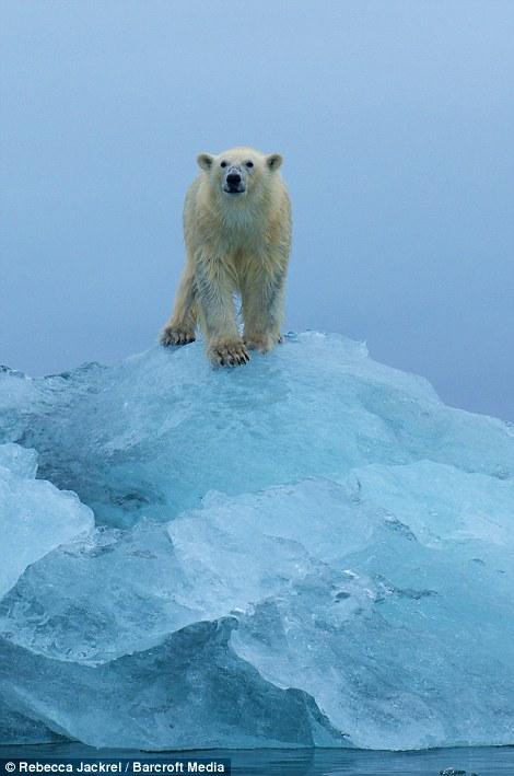 صور // الدب القطبي لحظة قفز بين اثنين من ذوبان القمم الجليدية القطبية Article-2046319-0E41655400000578-795_470x709