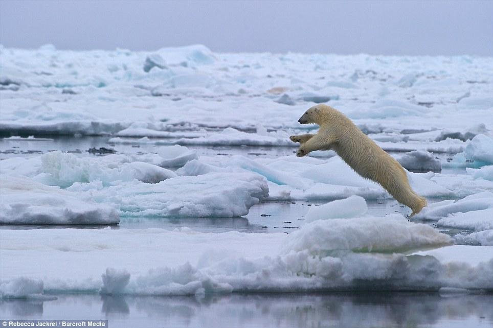 صور // الدب القطبي لحظة قفز بين اثنين من ذوبان القمم الجليدية القطبية Article-2046319-0E4165A500000578-792_964x642
