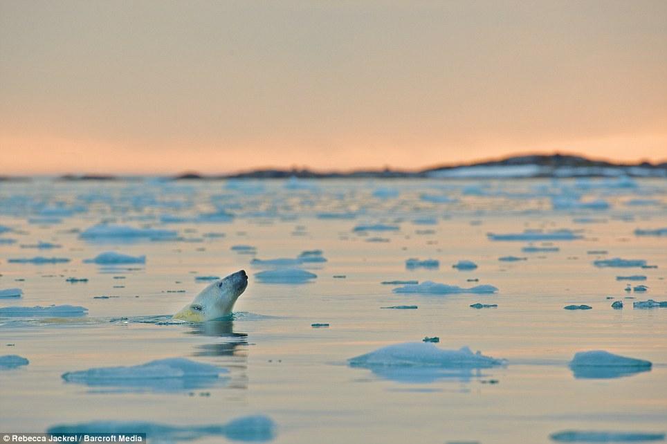 صور // الدب القطبي لحظة قفز بين اثنين من ذوبان القمم الجليدية القطبية Article-2046319-0E41675000000578-369_964x642