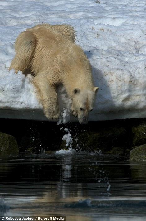 صور // الدب القطبي لحظة قفز بين اثنين من ذوبان القمم الجليدية القطبية Article-2046319-0E4167DE00000578-990_470x709