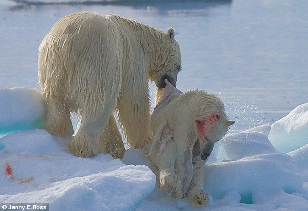 Nature at its most savage: The shocking pictures that prove polar bears are cannibals - and will even eat bear cubs Article-2071638-0F1ACEF300000578-404_634x434
