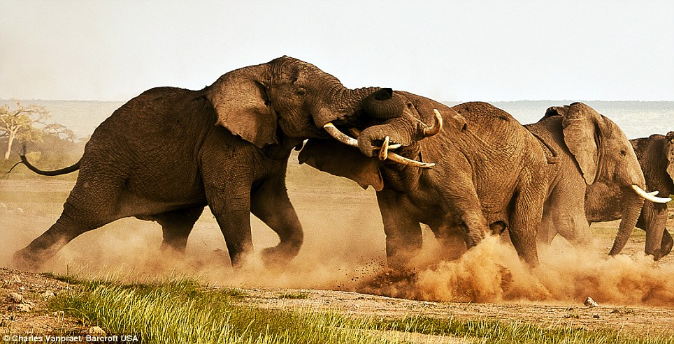 بالصور // معركة الفيلة من أجل السيادة (والفتيات) في اشتباك شرس في سهول أفريقيا Article-2104862-11DB396D000005DC-529_964x493