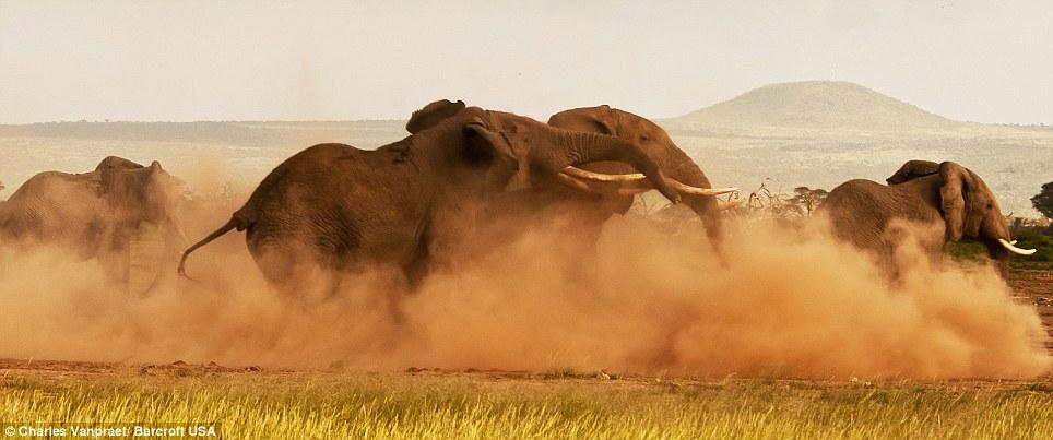 بالصور // معركة الفيلة من أجل السيادة (والفتيات) في اشتباك شرس في سهول أفريقيا Article-2104862-11DB3975000005DC-359_964x403
