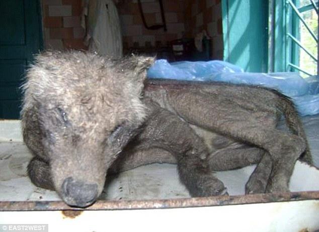 Ukraine : un animal mystérieux terrorise le pays Article-2192561-14AA5275000005DC-167_634x462