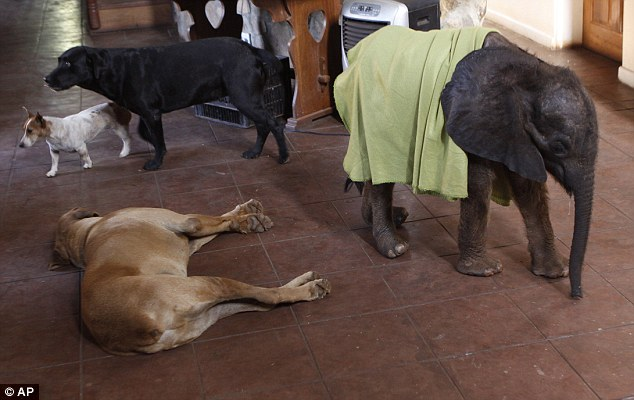 Orphaned baby elephant on road to recovery after finding new home with humans and two pet dogs  Article-2218330-1583DF90000005DC-817_634x400