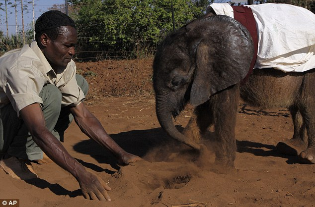 Orphaned baby elephant on road to recovery after finding new home with humans and two pet dogs  Article-2218330-1583EB6D000005DC-770_634x418
