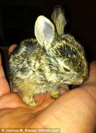 U.S. Marine rescues four orphaned bunnies hand rearing them himself. Article-2345340-1A6C2AB9000005DC-267_306x423