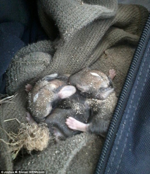 U.S. Marine rescues four orphaned bunnies hand rearing them himself. Article-2345340-1A6C2B36000005DC-418_634x736