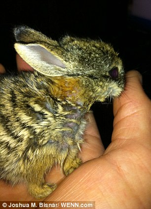 U.S. Marine rescues four orphaned bunnies hand rearing them himself. Article-2345340-1A6C2BC3000005DC-679_306x423