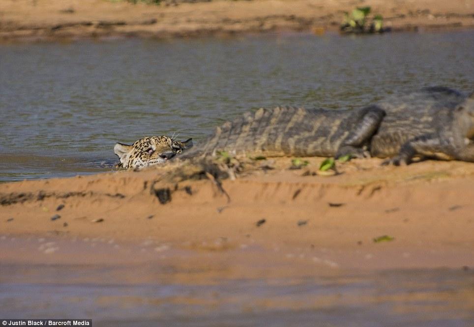 Jaguar venezuelano VS Leopardo macho monstro - Página 2 Article-2412146-1BA216B7000005DC-137_964x666