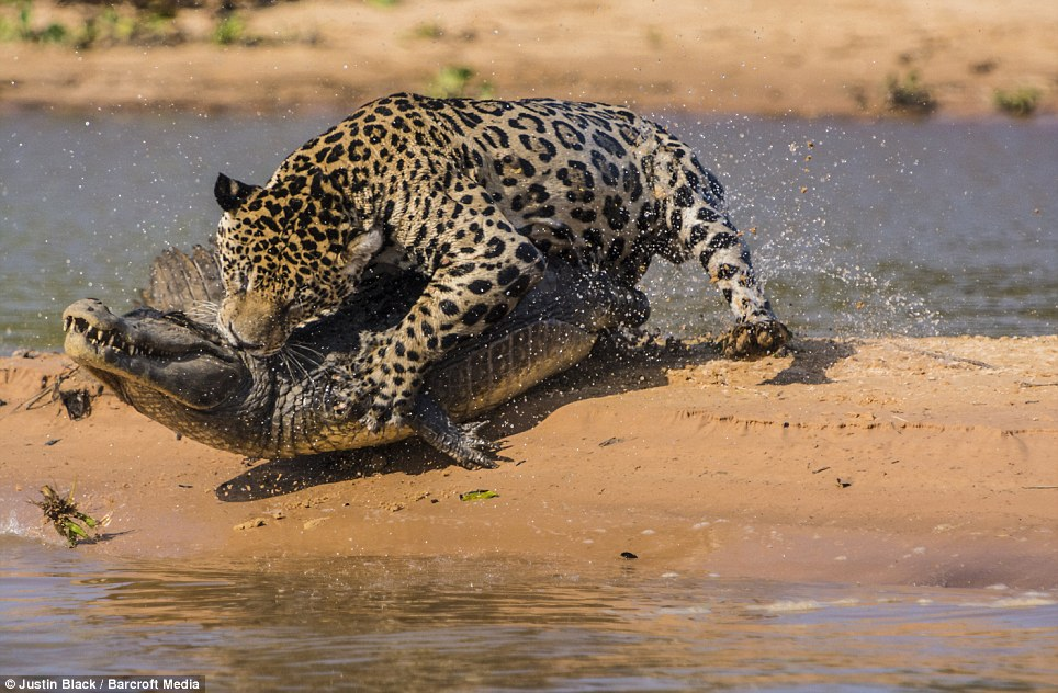 Jaguar venezuelano VS Leopardo macho monstro - Página 2 Article-2412146-1BA21709000005DC-611_964x632