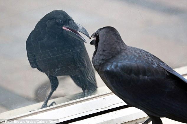 ¿A dónde vas, amigo, con tu secreto? los que se pelean se.... 2B2413E000000578-3186868-Despite_attraction_the_attention_of_many_passersby_the_crow_stay-a-2_1438857951436