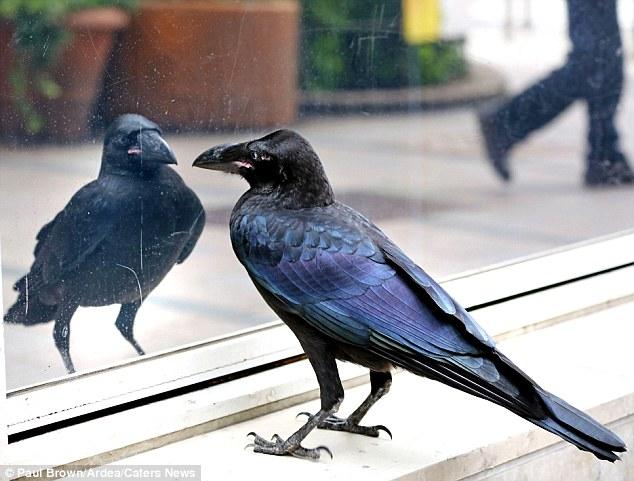 ¿A dónde vas, amigo, con tu secreto? los que se pelean se.... 2B24145000000578-3186868-The_vain_crow_peers_at_itself_while_puffing_out_its_chest_in_a_r-a-1_1438857936014