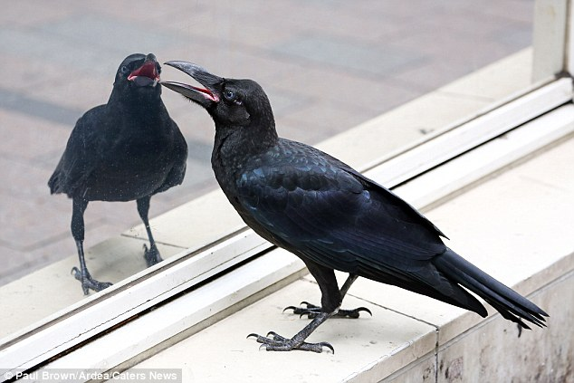 ¿A dónde vas, amigo, con tu secreto? los que se pelean se.... 2B24149800000578-3186868-Mr_Brown_claimed_the_bird_not_only_liked_looking_at_itself_but_w-a-6_1438857999902