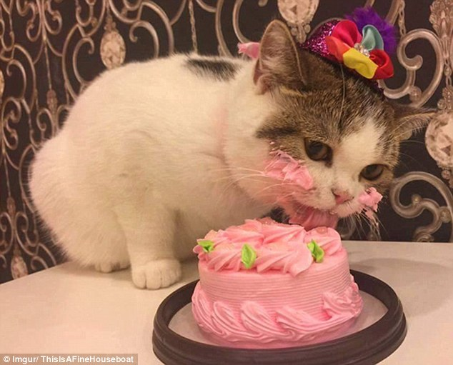 Happy Birthday, Embala! 3400E0CF00000578-3585363-The_cute_moggy_who_wore_a_sparkly_party_hat_licked_away_at_the_b-a-15_1462987778397