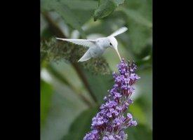 Albino Hummingbird Photos Captured In Virginia Slide_206983_652607_small