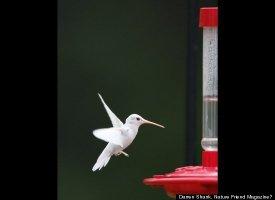 Albino Hummingbird Photos Captured In Virginia Slide_206983_652618_small