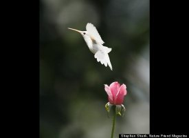 Albino Hummingbird Photos Captured In Virginia Slide_206983_652619_small