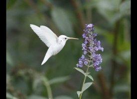 Albino Hummingbird Photos Captured In Virginia Slide_206983_652620_small