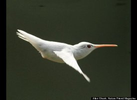 Albino Hummingbird Photos Captured In Virginia Slide_206983_652622_small