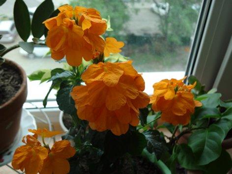продам излишки растений Krossandra_500