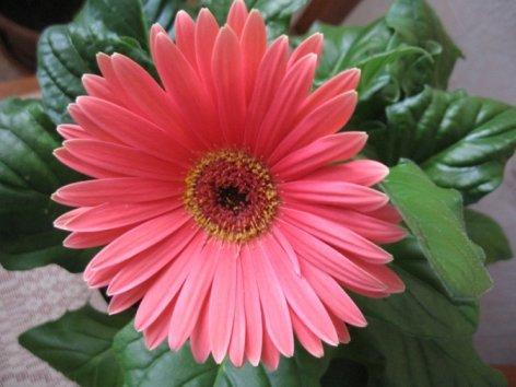 продам излишки растений Normal_Gerbera1_500